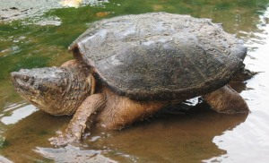 A snapping turtle scoots to the safety of deeper water.