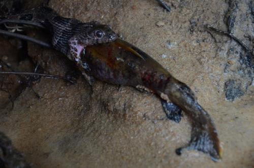 Snake Eating Fish