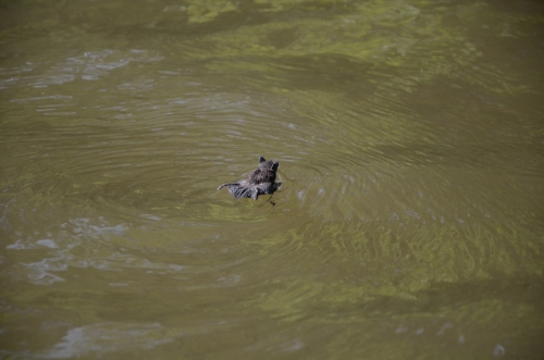 Swimming Bat