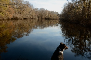 Oconee, the river dog, scouts the Ogeechee. O, how she loves to scout rivers for Paddle Georgia, for she could never attend an actual Paddle Georgia trip because...NO DOGS ARE ALLOWED!