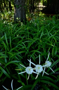 Swamp spider lillies attest to the beautiful interplay between land and water along the Ogeechee.